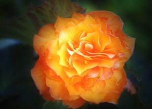 Огненно-оранж роза